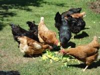 Hühnerschar