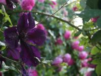 Clmatis und Rose