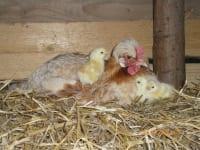 Sulmtaler Huhn mit Kücken