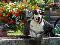 Hofhund Tina beim Baden