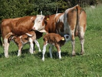 Kühe Lini und Lillie mit ihren Kälbern