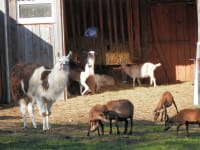Lamas - Schafe