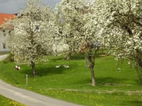 Bäume in voller Blüte