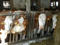Die Kühe bei der Fütterung