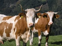 Kühe am Hof