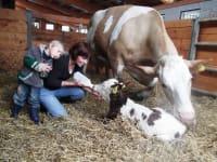 Ein neugeborenes Kalb hat Hunger