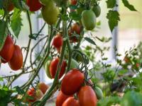 Unsere tolle Tomatenernte