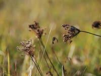 Wildkarotte im Herbst