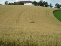 Getreidefeld vorm Hof kurz vor der Ernte