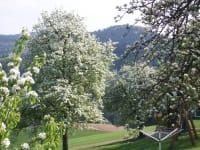 Blühende Obstbäume im Garten