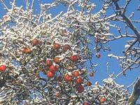 die letzten Äpfel am Baum