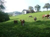Weidegang unserer Kühe