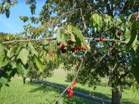Die Kirschen am Nussbaumerhof sind reif und laden zum Verkosten ein!