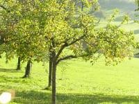 Einer der vielen Apfelbäume
