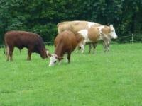 Die Kühe genießen die frische Luft auf der Weide am Biohof Schafflhof