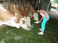 Milchkühe