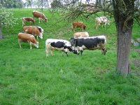 Das Gras wächst die Blumen und Bäume blühen und unsere Kühe  und Kälber genießen den ersten Tag auf der Weide