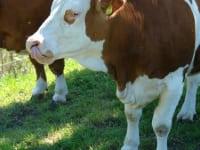 Kuh beim