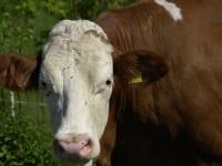 die Kuh macht