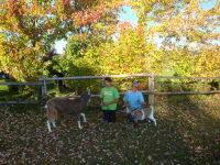 Herbst mit den Ziegen
