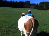 Die Kühe kommen auf die Weide