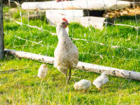 Huhn mit Küken