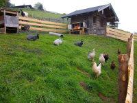 Hasen und Hühner