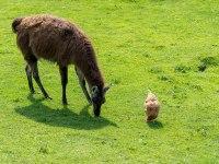 Lama mit Huhn
