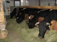 Im Spätherbst kommen unsere Kühe wieder nach Hause zum  Wallmanhof und freuen sich auf das frische Heu