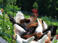 Freilaufhühner