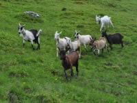 Unsere Ziegen auf der Alm