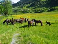 Pferde Noriker
