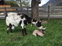 unsere Ziege mit ihrem Nachwuchs