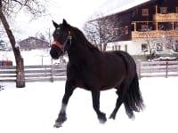 unsere Noriker Pferde