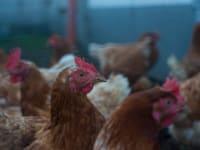 Omas Hühner