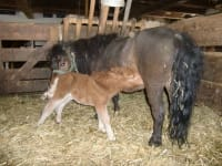 Mini-pony Pauline with her baby Willi