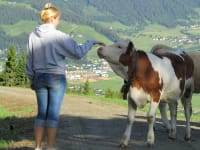 Kühe und Käber