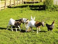 die Ziegen folgen dem Hahn auf Schritt und Tritt