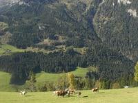 Unsere Rinder auf unserer Alm. Sie genießen die Almweide, die frische Luft und freuen uns, wenn mal wer mit einem Leckerli, dem Viehsalz, vorbeikommt!