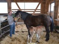 Stute mit neugeborenen Fohlen