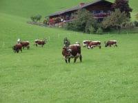 Pinzgauer auf der Weide