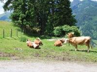unsere Kühe beim Sommerurlaub auf der Alm