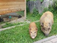 freilaufende Schweine