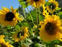 Meine Lieblingsblume - die Sonnenblume