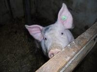 Pauli, unser Schwein