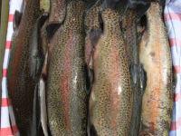 Forellen aus unserem Fischteich