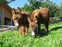 Unsere Eseln Hanna und Lena