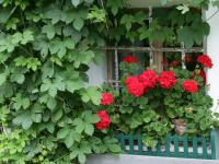 Pelargonien am Fenster