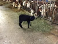 Unser Schaf Bella - sie wurde mit der Flasche großgezogen
