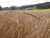Unser Getreidefeld